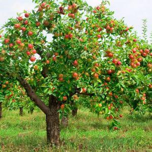 jabłoń1